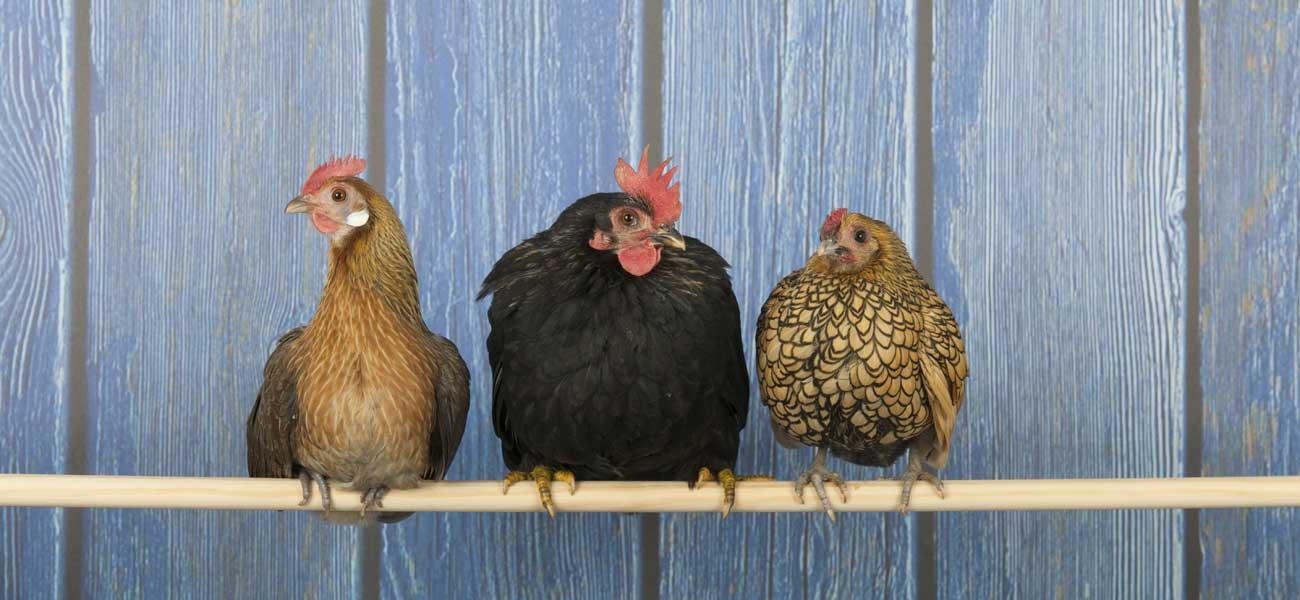 Poulailler ooreka - Toutes les races de poules pondeuses ...